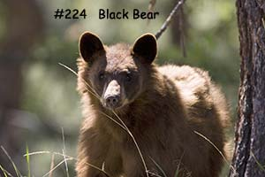 preview_blackbearfacing-1