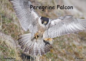 preview_falconnamemg_8982